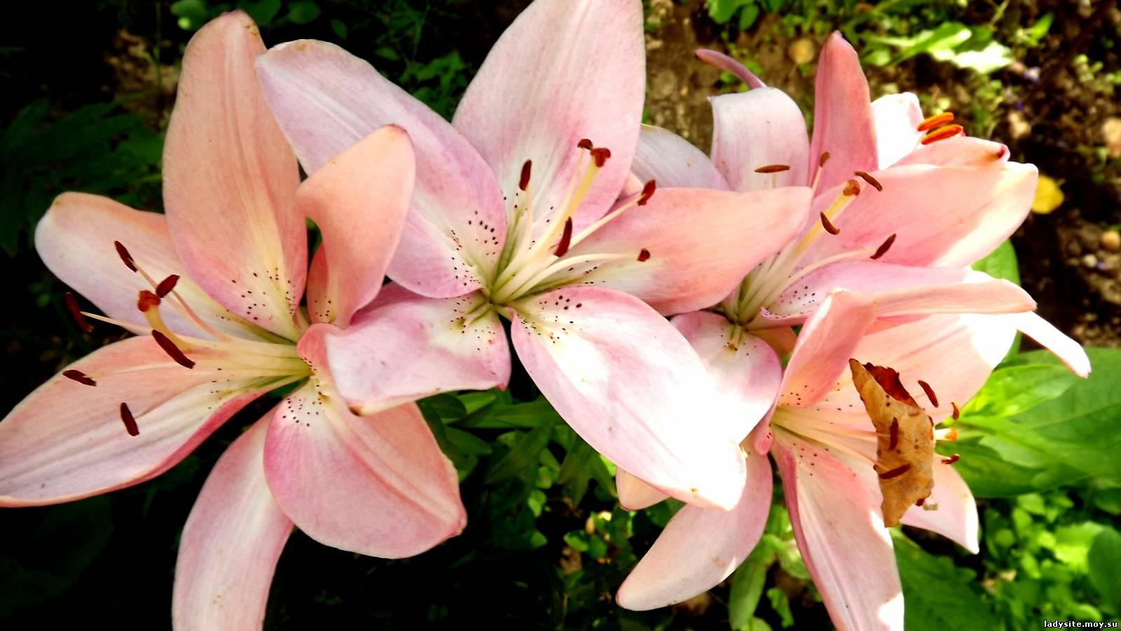 Цветов лилии : картинки и фото цветы белые лилии, скачать изображения